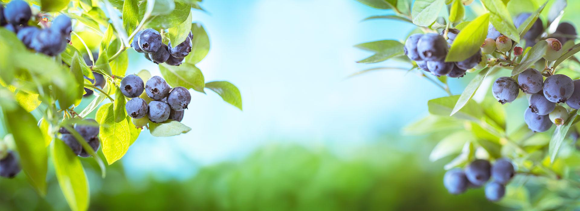 Большой выбор плодовых кустарников